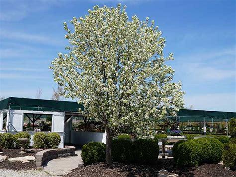 trees st louis mo shade ornamental flowering