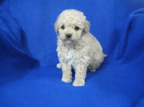 Puppies For Sale Tea Cup Poodle Tea Cup Poodles Toy Poodles F_category In Bardstown
