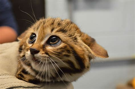 black footed cat philadelphia zoo welcomes black footed cat kittens and we
