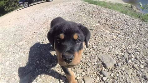 rottweiler puppy playing  flowers youtube