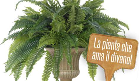 felce da vaso piante da interni come curare le felci da appartamento