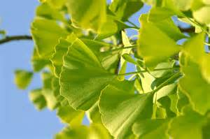 Ginkgo Biloba Maidenhair Tree