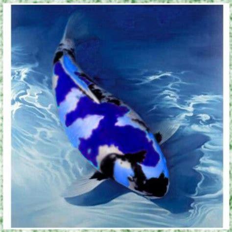 blue koi  koi   pinterest fish blue  carp