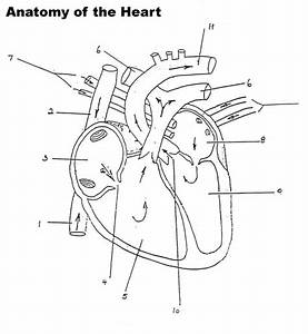 Human Heart Worksheet Blank