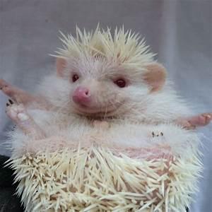 Baby Male Albino African Pygmy Hedgehog | Great Missenden ...