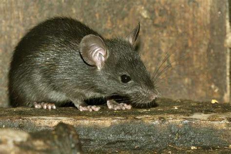 Ratten Im Haus Krankheitsüberträger 2