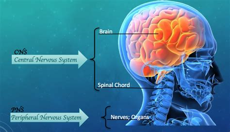 The central nervous system (cns) is one of the two major subdivisions of the nervous system. The Influence of the Nervous System on Human Behavior - Owlcation - Education