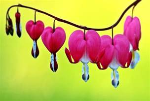 bleeding heart flower top 10 most beautiful flowers in the world the