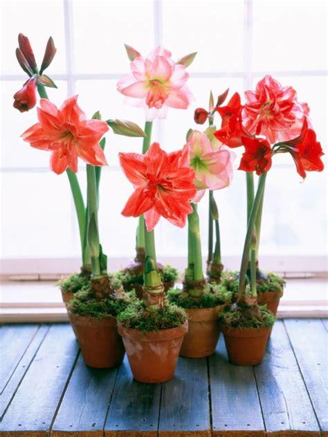 entretien amaryllis en pot conseils et astuces pour cultiver l amaryllis