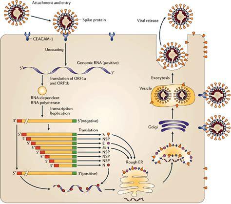 Hepatitis Virus Replication