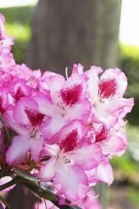 Wann Blüht Der Rhododendron : rhododendron pflege wann schneiden schnitt berwintern tipps ~ Eleganceandgraceweddings.com Haus und Dekorationen