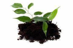 Ficus Benjamini Gelbe Blätter : ficus benajamini bekommt klebrige bl tter woran liegt s birkenfeige ~ Watch28wear.com Haus und Dekorationen