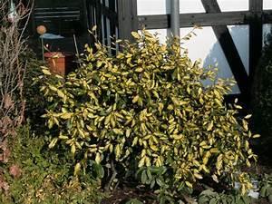 Glanzmispel Rote Blätter Fallen Ab : buntlaubige lweide elaeagnus pungens 39 maculata ~ Lizthompson.info Haus und Dekorationen