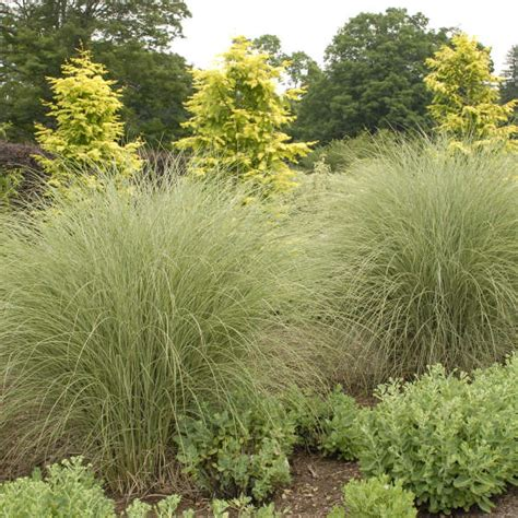 miscanthus morning light miscanthus sinensis morning light perennial resource