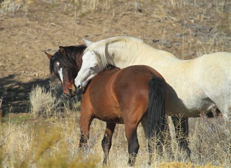wild mustang horse  images  wild mustang horses