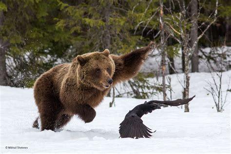 beware  mother bear mikhail shatenev  years