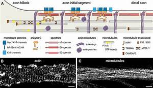 The Axon Initial Segment  An Updated Viewpoint