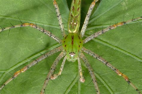 Garden Spider Green by Green Spiders Search In Pictures
