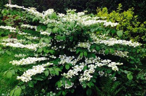 arbustes à fleurs viorne plicatum watanabe roses guillot