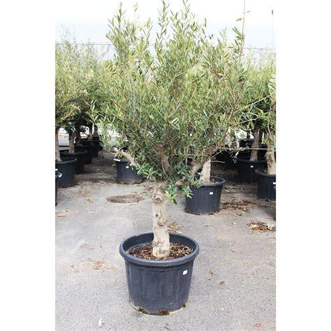 olivier plantes et jardins