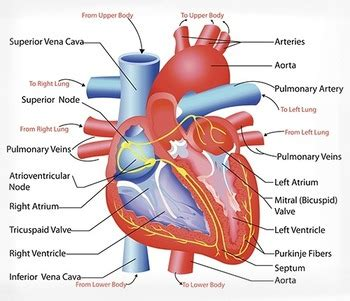 biology cardiovascular system anatomy diagram  science