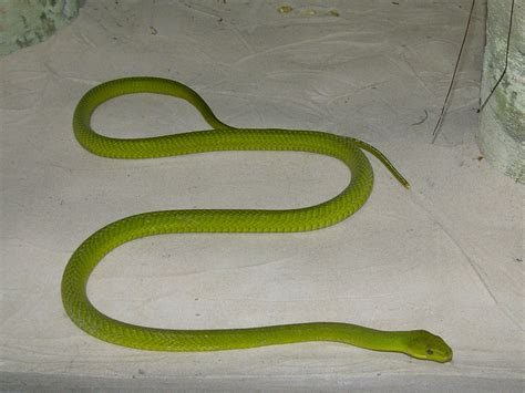 african green the online zoo east african green mamba