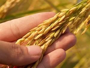 Rice Grain  U00b7 Free Stock Photo