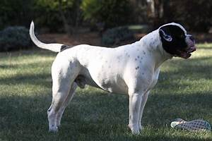 Black American Bulldog White with Black Patches - Sancho ...