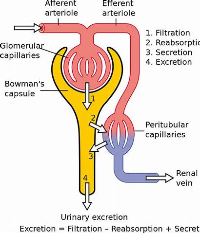 Secretion Urine Nephron Tubular Formation Physiology Flow