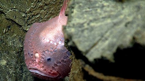 Secrets Of The Mariana Trench, Caught On Camera  The Twoway Npr
