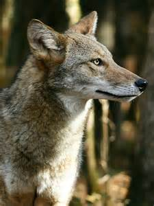 Coyote Killing South Carolina