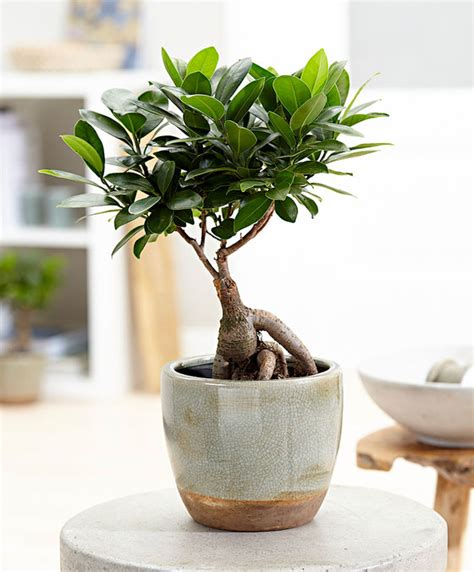 Zimmerpflanzenportraet Ficus Ginseng Ficus Microcarpa by Buy Indoor Plant Bonsai Ficus Ginseng S At Www Bakker