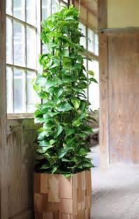 Golden Pothos Plant Indoor