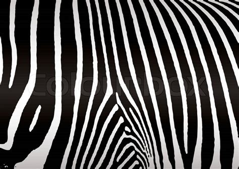 zebra skin color black and white zebra skin or hide that makes ideal