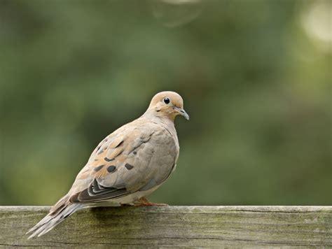 open season  mourning doves  parts  ontario