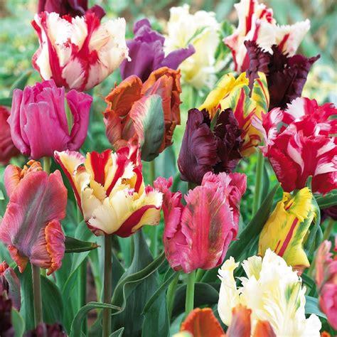 parrot mix tulip bulbs buy tulip bulbs on sale at