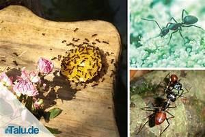 Ameisen Bekämpfen Im Garten : ameisen bek mpfen wirksame hausmittel wie backpulver ~ Frokenaadalensverden.com Haus und Dekorationen