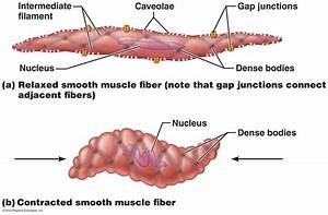 Smooth Muscle Cell Labeled Diagram | www.pixshark.com ...
