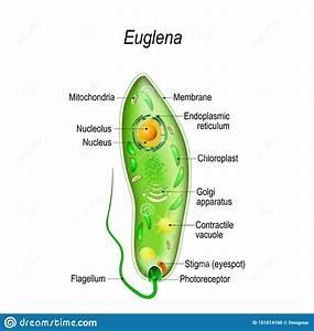 Anatomy Of Euglena Stock Vector  Illustration Of