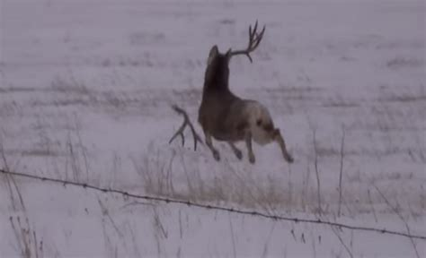 When Do Deer Shed Their Antlers Ontario by Video Bouncing Mule Deer Loses Its Antlers Outdoorhub