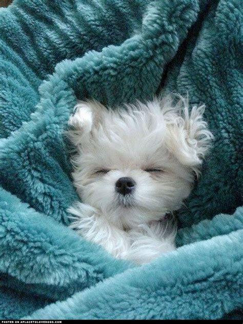 Best 25 Fluffy Dogs Ideas On Pinterest Cute Fluffy Dogs