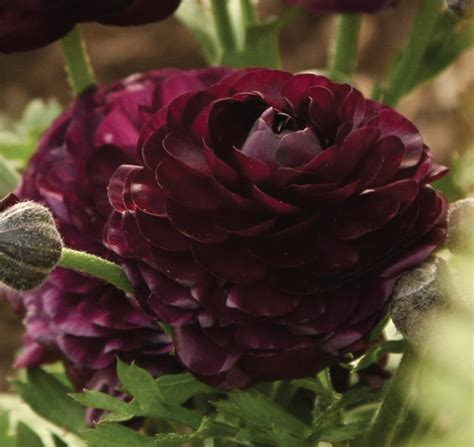 buy ranunculus bulbs ranunculus purple