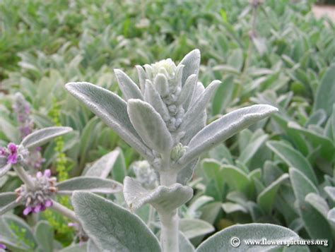 lambs ears pictures of lamb s ear plants stachys byzantina pictures
