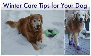 infographic winter care tips for your dog golden woofs With winter dog care