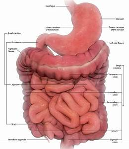 Intestines Anatomy Labeled