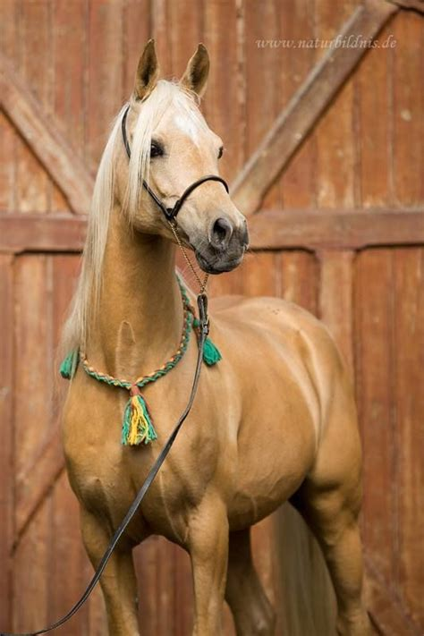 horses palomino fancy horse tickled palominos pretty palamino hesse frauke yellow tack animals cute dream cheval scarlettjane22