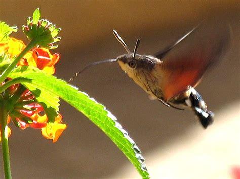 hummingbird moth look it s a hummingbird moth