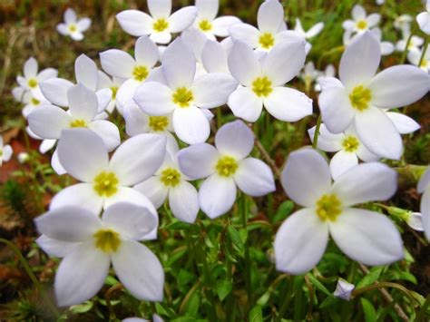 what is the state flower mayflower state flower what is the state flower of massachusetts plants flowers
