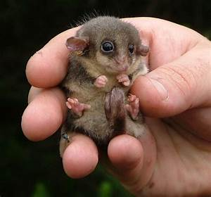 Adorable Baby Possum