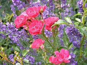 Rosen Und Lavendel : blumen f r den bauerngarten bl hender pflanzenschutz mein sch ner garten ~ Yasmunasinghe.com Haus und Dekorationen